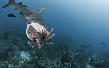 Lionfish invasion