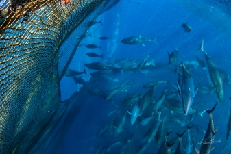 Bluefin tuna - Gold from ocean