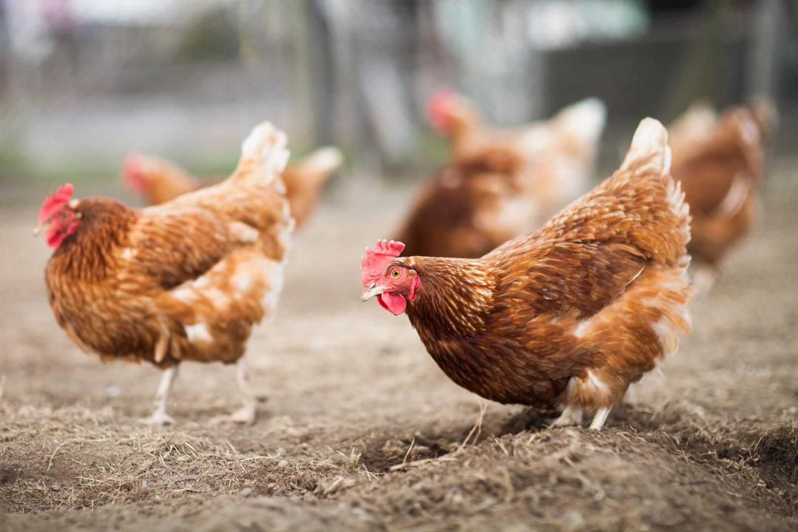 Le nostre galline sono allevate a terra